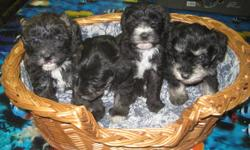 We have 1 brindle Schnoodle female puppy left and ready to go just in time for Christmas.  She is a first generation cross, has been dewormed twice, has her 1st shot, vet check and revolution treatment. She has a lovely temperment, is very affectionate