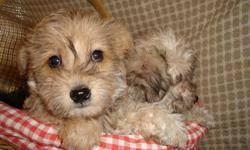 Schnoodles, Min. Schnauzer cross Poodle  Non-shedding, males avaiable. First shot, two dewormings, dew claws removed and tails docked.  Please phone for more information, Thanks!