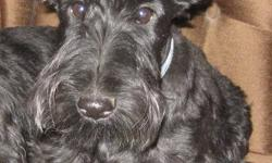 Beautiful black male scottish terrier for sale. Sweet little man who has been part of my breeding program. Due to my health issues I am retiring from breeding and have to find a new home for him.  He is from championship bloodlines, comes with full CKC