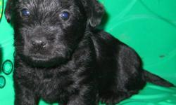 I have a litter of scottish terrier puppies there is 3 males and 3 females. A small deposit will hold  your puppy till your little bundle of joy is ready to go. They will be vet checked 1st shots and dewormed at least 3 times before they are ready to go.