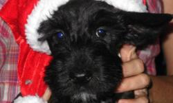 Little scottish terrier puppies there is 3 males and 3 females Ready to go just been to the vets got there first shots and have been dewormed. We live in Minden but can meet in Barrie.  705-298-0812