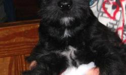 TWO SCOTTISH TERRIER PUPPIES LEFT one male and one female they are ready to go have had there first shot vet checked and been dewormed. These breed would be purfect for the alergie suffers. Would love to be part of your family.We are from Minden but will
