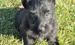 3 girl Scottie pups are ready to be adopted!  They are so sweet, playful and soft!!  They are vaccinated and dewormed.  Well socialized and non-shedding, they will make wonderful companions in your home!  Both parents are CKC registered!  Pictured below.