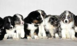 We have a few Registered Miniture Australian shepherd puppies for sale   * Black Tri Female * Blue Merle Male * Black Tri Male * 2 Black Bi Males   Puppies come registered, shots, tails docked, 6 weeks free pet insurance, dewormed, a puppy pack full of