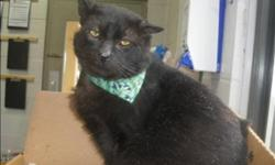 Breed: Domestic Short Hair   Age: Senior   Sex: M   Size: M Primary Color: Black Weight: 6.41 Age: 10yrs 3mths 1wks Animal has been Neutered   View this pet on Petfinder.com Contact: Surrey Branch BC SPCA | Surrey, BC