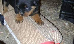 I have 1 male Rottweiler puppy for sale Best of Working Bloodlines around!!! I De-worm at 4,6 and 8 weeks of age. Dewclaws will be removed and we are also docking tails from this litter. We temperament test all of our puppies. These puppies will be