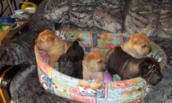 There are 6 adorable Shar-Pei puppies left out of a litter of 7, 1 female red fawn(the runt), 3 male red fawns, 1 black male, and 1 silver sable male. They all have brush coats. They are 6 wks. old. Raised with children and other dogs. Very friendly and