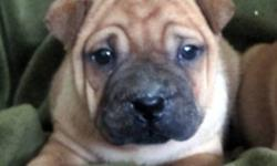 Miniature SharPei X Pug Puppies Price lowered to $350 for today only!! Save $50! Only 1 little girl left!! Very adorable, lots of wrinkles. Amazing personalities, they are very intelligent, love to play and cuddle. Make great family pets. Will be approx: