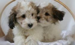 Two beautiful male puppies! The little boys, Sheltie Bichon, are energetic and very friendly. They do well with children and make excellent family pets. They have been well socialized. They come with first shots, vet checked, dewormed. Call us at? (519)