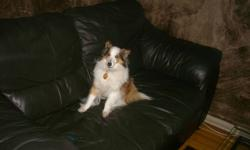 I am selling a Sheltie her name is Foxys looking for a Good home for her. Someone to give her losts of attention, unfornitly Dont have time anymore.     please contact 519-974-3693 Tiffany