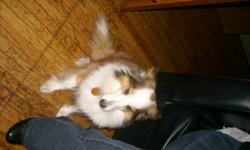 i am a selling a Sheltie she is very small and she getting older and needs alot of attention unfornly i am working to much to give her the attention that she needs dosn't get along well with other dogs or small children, she is a 11 years old and looking