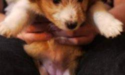 sheltie puppies for sale?1 male and 1 female. $450 for each.   born 2011 8 23.   any question please ask: mailto:lyw.celia@yahoo.com.cn 2505719025