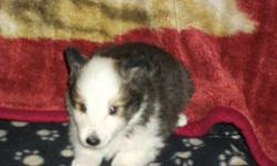 We have for sale 6 adorable sheltie puppies.  There are 2 males and 4 females.  All 4 females are sable.  One sable male and 1 tri color male.  Born Sept.4 will be ready to go by Oct.30.  First shots and vet check will be done at 6 weeks.  First 2