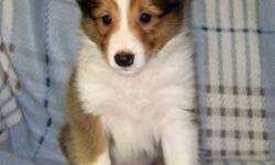 Born Oct 15. 1 male and 2 females. They have wonderful personalities. Shelties are very loyal to their leader. They are calm and very intelligent.               This breed is also called Shetland Sheep dog. This dog is an outstanding companion with a