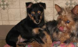 Back in August my beautiful little Yorkie decided to escape and get hooked up with my lovely Sheltie. The result was a litter of 2 pups born on October 4th. They are very cute, active little dogs. They are black and tan with a soft thick coat, perky ears