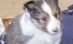 3 male shelties left they are ready to go $400.00 each firm. 1 sable and 2 tri-colour very cute and very playfull the sable one is and older pic when he was about 4 weeks old i have got a chance to take another picture of him.