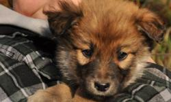 HEART dog rescue has received 6 puppies off of the Hobema reserve in Edmonton. Their lineage is unknown, they sure look like shepherd crosses. They are 7 weeks old and will be ready for adoption next weekend. We have 3 boys and 3 girls, currently in
