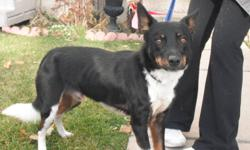 Boots is an amazing dog with a great personality. He is 4 years old and is a rescue currently in a foster home. Boots is a high energy dog that would be good for someone who has a yard to run around in and can give him walks every day and he is an indoor
