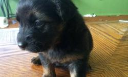 I have a shepherd cross dam that gave birth to two seperate types of dogs. One sire was a Chocolate Lab and the other was a German Shepherd. I am an experienced breeder and these pups are experiencing lots of socialiazation with both adults and children,