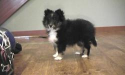 I have one tri-coloured female sheltie puppy ready to go to her new home. She has her first shots and dewormed. Bred from show bloodlines. Very sweet and outgoing personality. She will make a very nice pet. Located near Courtenay on Van. Island, but can