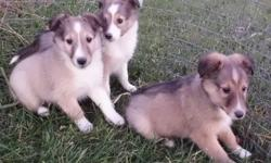 We have 2 puppies available to good homes   2 Males They are vet checked, they have their first shots and are dewormed. They are great outside or inside Both their parents are onsite and are outdoor dogs   The first 3 pictures are of the males   Give us a