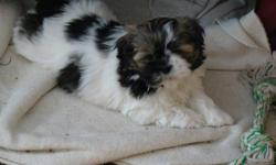 four lovely male shi-tzu puppys vet cheched and first needles and dewormed