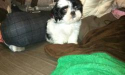 Mya is an 8 week old baby shi ztu who needs a good, loving home. She is so sweet and loves to cuddle with you. She already knows her name, has her firsts shots and de worming. I fell in love with her but as a student I don't have enough time to spend with