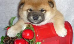 I have 2 Beautiful Shiba Inu  Female puppies that are available. They are CKC. Registered.One Red and One Cream.They can go to their new homes Jan. 1st. They will have been wormed twice, 1st shot done and Tattooed. They also come with a 6 week health