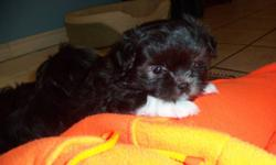 Very adorable, affectionate puppy for sale. There is only 1 female left Shih-tzu/Pomeranian/Chihuahua Shih-tzu/Pomeranian(dad), Shih-tzu/Chihuahua (mom) Will grow between 5 and 10 pounds Raised around other animals and children, she is great with both. No