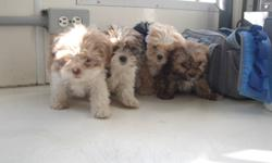 SHIH-TZU AND SHIH-TZU X all ready for there new homes very loving puppies they all have there first set of shots and dewormed all different colors males and females  for more information ask for Samantha 1519-327-8266