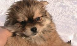 I have 3 Shih-Tzu pom puppies 1male 2 female they have there first shots and worming call ron at 780-941-2247 or780-299-4387 the first pic is the male