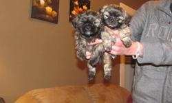 Beautiful shih-tzu puppies (female is the lighter caramel color/black markings/mask on her face and the male is the choc brown/caramel markings) Our puppies come from a loving home where both Mother/Father live and can be seen (Mother 8lbs and Father is