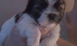 For sale Shih-Tzu Puppy.Born Sept 21/11 There is only 1-boy puppy left .Both mom 7lbs & dad 8lbs . Puppy Reduced To $450 .Will come with health records, vet checked, 1st needle, puppy package,Inquire @ 705-737-3698[ H] or 705-718-1040 !!!!!! Great