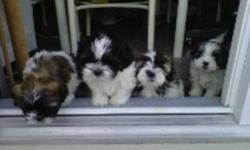 Beautiful Puppy for Sale and Now ready for his new home. We have One Male Left. He is the second puppy in the picture of the four of them. He was the only black and white one in the litter. Their Father is a Shih-Tzu and Mother is Shih-Tzu x Toy Poodle.