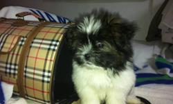 SHE IS ADORABLE. LOVES TO GIVE KISSES. 8LBS SHOTS TO DATE. HOUSE TRAINED. CALL 604.618.9101