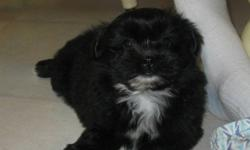 We have 7 adorable shih pom puppies (shih tzu X pomeranian) looking for new homes. They have had their first vaccination/vet check up and have been dewormed. They were born Sept. 28, 2011. We are asking $300 each for the males, and $325 each for the