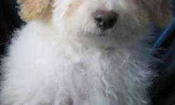 Toy Shih Poo puppies Toy poodle X Shihtzu low to non shedding adult size 8 - 10lbs Ready to go to their new homes Cream and white - Females Cream and white - Male They have had first needles, dewormed and vet checked Located just outside Hamilton Please