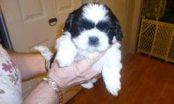Hi !I have for sale 3 gorgeous  SHIH TZU puppies , .They are now 6 weeks old and ready for viewing,  one female and two males The males are $550 each and the female is $600  two are brown and white, and one is black and white. They will be sold on a first