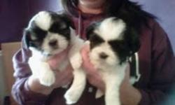 3sweet puppies looking for a family to call there own. All girls. They are non shedding dogs and grow to around 8 lbs.Come with first shots, dewormed and vet check records. I own both parents. Puppies are ready to go. Paper and kennel training has been