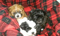 We have 3 adorable shih tzu's puppies. We own mom & dad. Dad is pure shih tzu & mom is shih tzu x toy poodle.They are very affectionate, loving dogs, great companion dogs. Non shredders/ hypoallergenic. Her 1st litter all went to family. These pups are