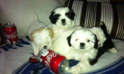 2 BOYS AND 2 GIRLS VERY PLAYFUL, PEEPAD TRAINED SHOTS TO DATE PLEASE CALL 604.338.5896