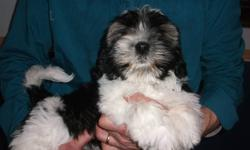 these 4 loveable pups are ready to go just in time for the new year. 3 boys 1 girl. these pups are child friendly and not yappy or hyper. the girl is the black one. pups will come with 1st shots, dewormed. they are 3/4 shih tzu 1/4 bichon. pups should