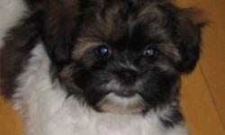 2 male Shih Tzu/Bichon puppies for sale. Came from a litter of 4 but the girls are already gone.The mom is Bichon/Shih Tzu the dad is pure bred Shih Tzu. Both parents have good temperment. Vet checked, shots and deworming up to date. Ready to go.