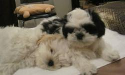 Beautifull Shih Tzu Female and Male Puppies. Very friendly, love to play with kids and other dogs. They are hypoallergenic, non-sheddeing, extremaly friendly and good with people, very easy to train.  Please call me to scheduale the time if u interested