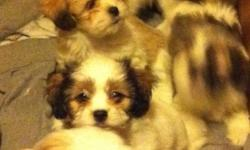 5 very cute Males, both parents are Shih tzu and Lhasa Apso and available for viewing. Please contact Stephen for more information at 604-701-9006. Thanks