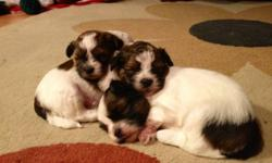Three little shih tzu, ready to go home.  We have three  9-week-old  ShihTzu puppies. They are dewormed, and have their birth certificates and shots.  They are also potty trained considering they are only 9 weeks old. We are  selling them for $380 Please