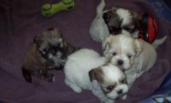 We have 2 family raised Shih Tzu Puppies for sale,1 male and 1 female.These pups are non-allergenic and non-shedding.They are ready to go now.They come vet checked,dewormed and with their first shots.   905-239-3241