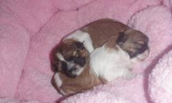 I have 2 pups left for sale. I am a Shih Tzu Breeder & have been for many years. These little angels are non shedding & hypo allergenic. They will grow to about 8-10lbs. My puppies & parents are full breed (not registered) Great temper ments & good with