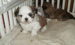 SHIH TZU PUPPIES  MALE AND FEMALE  VET CHECKED  FIRST SHOTS  WORMED  GOLD AND WHITE  GREAT TEMPERMENT HOME BRED