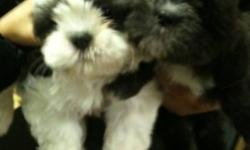 shih tzu puppies ckc registered three timed dewormed first shot and both parents are on site both CKC And AKC registered pls call 416 856-6643 for more info for serious buyers only! thanks... This ad was posted with the Kijiji Classifieds app.